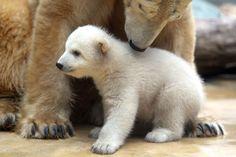 Beautiful photos of polar bears and their cubs