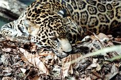 jaguar animals pictures | jaguar in belize jaguar the jaguar scientific name panthera onca is ...