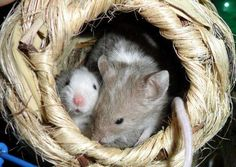 Mice court with love songs that are so high frequency they are inaudible to the human ear. New research published in Current Biology shows mice make their unique high frequency sounds in a surprising way that has only been observed by supersonic jet engines. Wild mice, rats and also many other rodents produce ultrasonic songs that they use for courting and territorial defense.