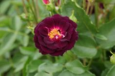 All About Gardening Dark Purple Roses, Rose Pictures, White Fence, Climbing Roses, Lavender, Flowers, Plants, Gardening, Color