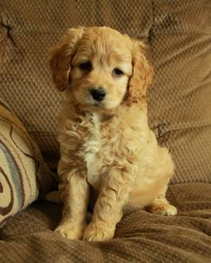 Questions about cockapoo puppies? http://curiouspuppies.com/cockapoo-puppies-faq/