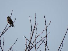 オオカワラヒワ. Grey-capped Greenfinch on a  chestnut tree. 27 February 2017