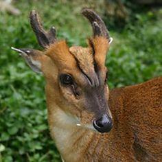 Muntjac Deer at Happy Hollow Park & Zoo San Jose, CA #Kids #Events - Happy Hollow Park & Zoo
