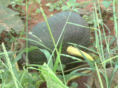 Conheça o plantio de abóbora