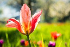 Eine wunderschöne Blüte auf der Blumeninsel Mainau