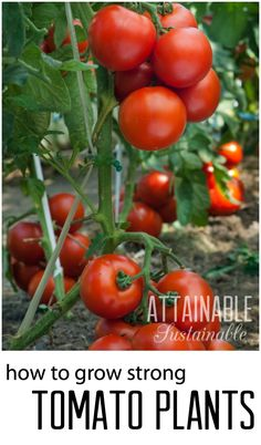 How to Plant Tomatoes for Strong Growth