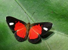 https://flic.kr/p/UbZB67 | Mesene leucophrys | Villa Carmen, Manu Road, Cusco, Peru - 550 m