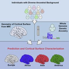 Researchers at the University of California, San Diego have found that the three-dimensional shape of the cerebral cortex, the wrinkled outer layer of the brain controlling many functions of thinking and sensation, strongly correlates with ancestral background. The team state that the findings open the door to more precise studies of brain anatomy going forward and could eventually lead to more precision medicine approaches for diagnosing and treating brain diseases.  They go on to add that…