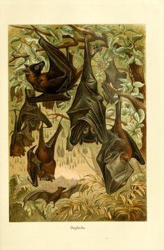 Bats - from Brehms Tierleben (Brehm's Animal Life) - 1911