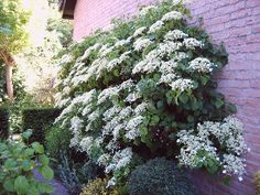 Climbing Hydrangea, Climbing Flowers, Green Flowers, Colorful Flowers, All About Plants, Foliage Plants, White Gardens, Delphinium, Beautiful Gardens