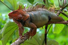 File:Red head iguana from Costa Rica.jpg