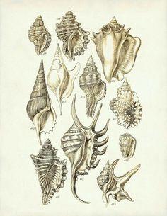Seashells-£H