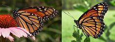 Danaus plexippus - Wikipedia, la enciclopedia libre