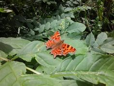 Farfalla vanessa c-bianco in Hitchin 04.08.2013 by Chiara