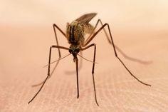 """Elk jaar worden miljoenen muggen op gruwelijke wijze om het leven gebracht. Dierenrechtenactivisten eisen dat justitie harder optreedt tegen de moordenaars die het op deze onschuldige diertjes gemunt hebben. """"De laatste jaren wordt dierenmishandeling zwaarder bestraft. Toch komen muggenmoordenaars vaak weg met alleen een waarschuwing. Soms wordt er zelfs helemaal niet bestraft. Er zijn zelfs landen waar het afslachten van [...]"""