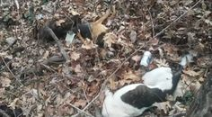 2/24/17 A gruesome and disturbing discovery was recently made just off of a road in Morgan County, West Virginia. According to Thursday's Your 4 State News, the bodies of seven dogs, who had been fatally shot, were discarded in the town of Paw Paw, just off ofPlains Road. One of the dogs belonged to Benny King, …