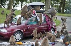 Drive through the monkey area with your car top carrier unlocked