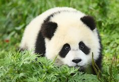 This panda cub is here to assure you that all is well after the earthquake in China.