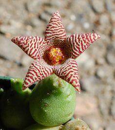 piaranthus magnificus