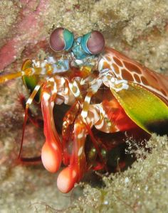 "Secret of Hard Hitting Crustacean Claws Found - by Stephanie Pappas. ""If sea creatures were Marvel comic book characters, the peacock mantis shrimp would be Thor. These colorful crustaceans have a hammerlike claw that can smash prey with the acceleration of a 0.22-caliber bullet — not unlike the superhero's mythological weapon."""