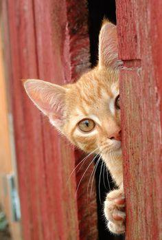 curiousity | orange tabby barn cat