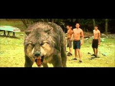 This is a clip from Twilight. This scene can cause people to think that wolves(werewolves) are easily provoked and ready to fight at all times. This is probably why most people are so afraid when they see a wolf in real life outside of a zoo. They have seen so many imagines and videos of fake wolves attacking with little provocation. That assumption can lead to the death of many wolves, people don't want to wait long enough to find out if the wolf will attack or not.