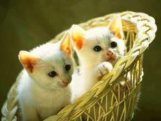 Cute Baby Cats Wallpapers Group Pictures Of Cute Kittens Wallpapers Wallpapers) Cute Kittens, Beautiful Kittens, Sf Wallpaper, Kitten Wallpaper, Animals And Pets, Cute Animals, Dancing Cat, Kitten Gif, Kitten Videos