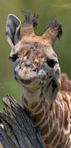 Giraffe, Kenya Africa by Stephen Earle Cute Creatures, Beautiful Creatures, Animals Beautiful, Nature Animals, Animals And Pets, Wild Animals, Cute Baby Animals, Funny Animals, Funny Pets