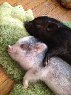 Cute Fair and Black Piglet Sleeping