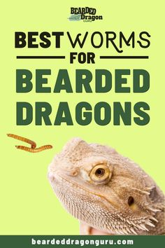 Selecting the best types of worms for bearded dragons to eat can significantly improve their health, ensure that you are feeding your's the right types. Bearded Dragon Heat Lamp, Bearded Dragon Substrate, Bearded Dragon Food List, Bearded Dragon Care Sheet, Bearded Dragon Habitat, Bearded Dragon Supplies, Types Of Worms, Pet Lizards, Dragon Tail