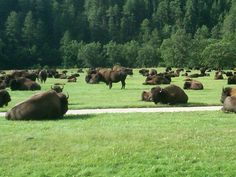 visited Custer State Park, South Dakota-home of the largest free roaming buffalo herd-great experience! Vacation Places, Places To Travel, Great Places, Places To See, Places Around The World, Around The Worlds, Wind Cave, Prairie Dogs, Custer State Park