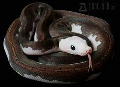Pied Reticulated Python