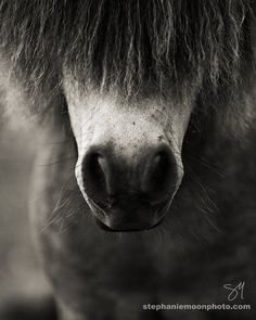 Pony Nose and whiskers, black and white horse photography, Picture of a Pony.  Photo by Stephanie Moon, www.stephaniemoonphoto.com