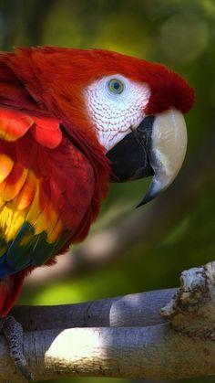 Rainbow Macaw Parrot