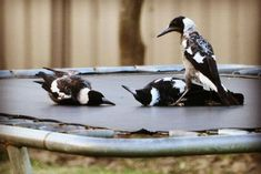 Young magpies fooling around on a mini trampoline Albany Western Australia Fast Crazy Nature Deals. Australia Animals, Australian Birds, Watercolor Artwork, Animals Of The World, Funny Animal Pictures, Magpie, Beautiful Birds, Pet Birds, Pie Pie