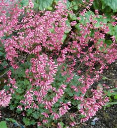 Heuchera Canyon Delight Pink and White Coral Bells