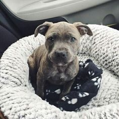Adorable Pit Bull Puppy ♡ #pitbull
