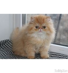 persian cat for sale new york, persian kittens for sale new york ...