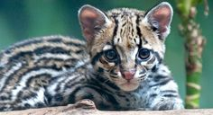 I guess I should add them, that way I feel like everyone else! Puppies And Kitties, Baby Kittens, Cats And Kittens, Baby Leopard, Types Of Cats, Interesting Animals, Ocelot, Cat Photography, Pretty Cats