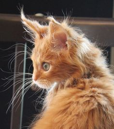 """Dang, i forgots conditioner dis morning."" (by Miss Molly Magoo) http://www.mainecoonguide.com/what-is-the-average-maine-coon-lifespan/"