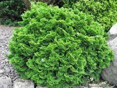 Templehoff Hinoki Cypress high & wide) Beautiful slow growing evergreen with lush dark green cupped foliage Bronze tipped in fall. Canadale Nurseries Ltd. Bushes And Shrubs, Garden Shrubs, Garden Trees, Shade Garden, Garden Plants, Small Evergreen Shrubs, Small Shrubs, Evergreen Garden, Evergreen Trees