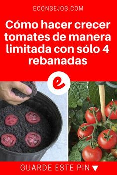 Garden trick: plant tomatoes from 4 slices – Tomatoe Planting - Growing Plants at Home Eco Garden, Edible Garden, Growing Seeds, Growing Plants, Container Gardening Vegetables, Vegetable Garden, Tomato Plants, Growing Tomatoes, My Secret Garden