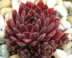 Sempervivum 'Pacific Red Tide'