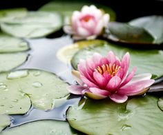 Lotus flowers floating in water. Monet, Lily Pond, Astrology Signs, Astrological Sign, Amazing Flowers, Planting Flowers, Hinduism, Lotus Flowers, Pink Lotus