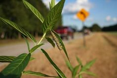 Monarch butterfly caterpillars living next to roads may be stressed by the sound of passing cars and trucks, according to a new study from the University of Georgia. Monarch Caterpillar, Overwintering, Noise Pollution, Road Rage, Monarch Butterfly, Ecology, Habitats, Flower Pots