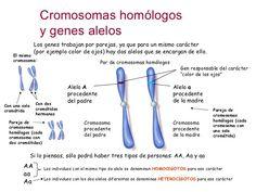Cromosomas homólogos y genes alelos Los genes trabajan por parejas, ya que para un mismo carácter (por ejemplo color de oj...