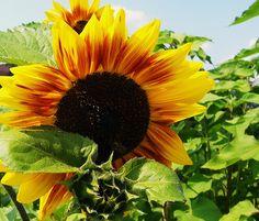 cortona sunflower