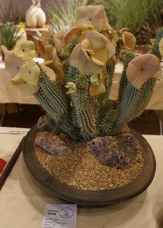 https://flic.kr/p/Ly5o6p | Hoodia gordonii CSSA 2012.JPG