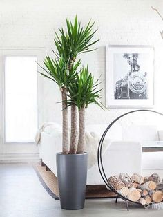 Yucca Plant Indoor, Yucca Plant Care, Large Indoor Plants, Indoor Palms, Palm Plant, Large Plants, Trees To Plant, Potted Plants, Indoor Trees