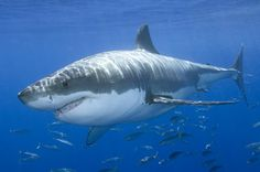 Google Image Result for http://surbrook.devermore.net/adaptationscreatures/real/Great_white_shark_02.jpg